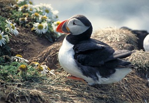 puffin in iceland300px